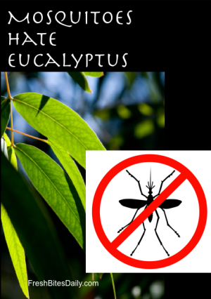 Lemon Eucalyptus for Mosquitoes at FreshBitesDaily.com