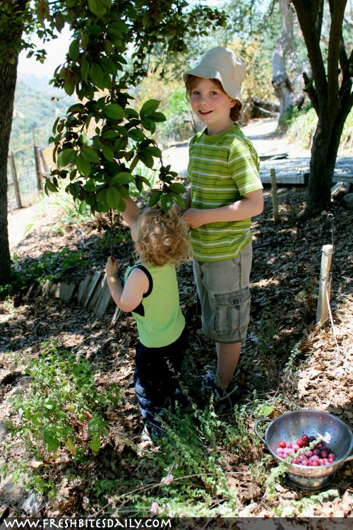 Wild Plum Harvest at FreshBitesDaily.com