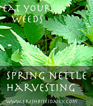 Harvesting Spring Nettle at FreshBitesDaily.com