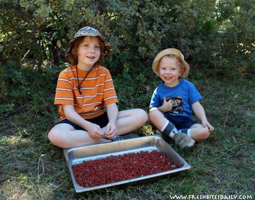 Wild Currant Harvesting at FreshBitesDaily.com