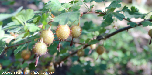 Wild Gooseberry Sampling and Syrup from FreshBitesDaily.com