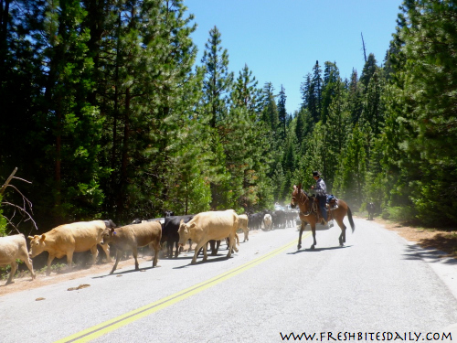 Cattle Drive at FreshBitesDaily.com