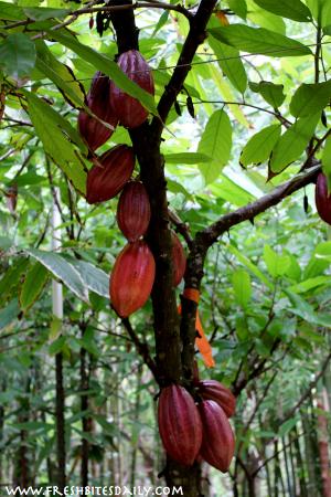 Cacao Bean Pods via FreshBitesDaily.com