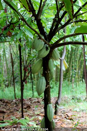 Immature Cacao Pods via FreshBitesDaily.com