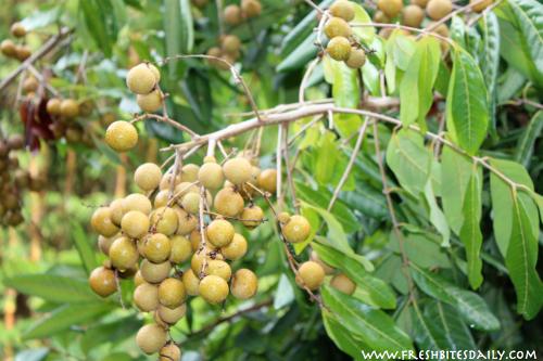 Longan Fruit at Steelgrass Farm via FreshBitesDaily.com