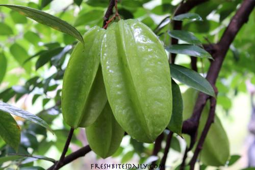 Star Fruit, Unripe on Vine FreshBitesDaily.com