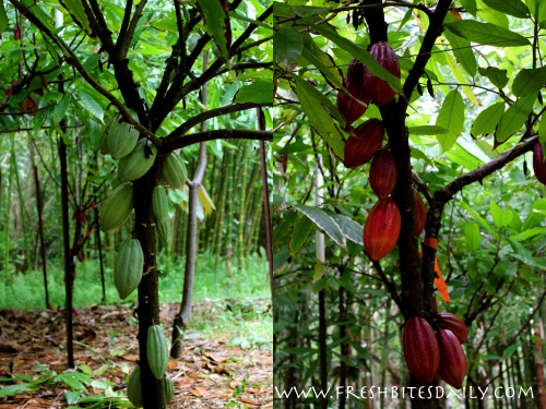 Seven strange-growing foods you will want to see -- Cacao
