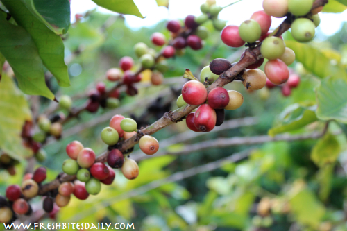 Seven strange-growing foods you will want to see -- Coffee