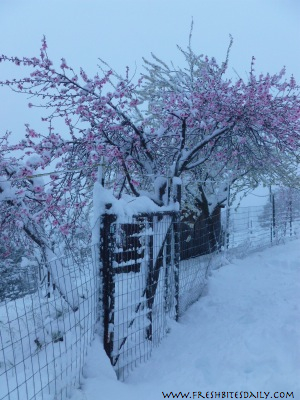 A snowy orchard tip plus a funny surprise on our clothesline (it's all about timing...)