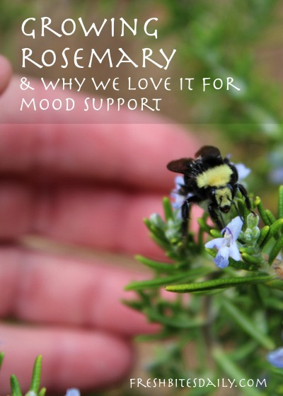 Growing Rosemary (And Why We Love It For Mood / Depression)