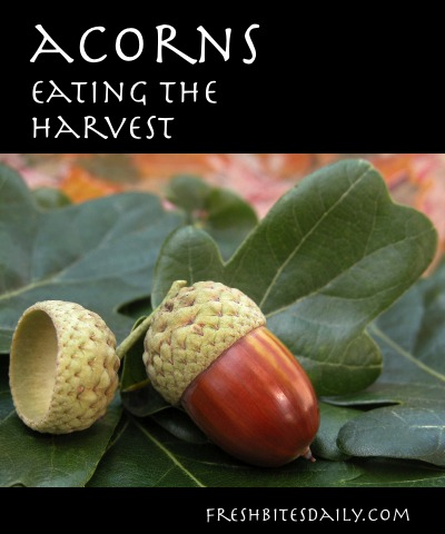The Acorn Harvest: Acorn Foraging and Recipes
