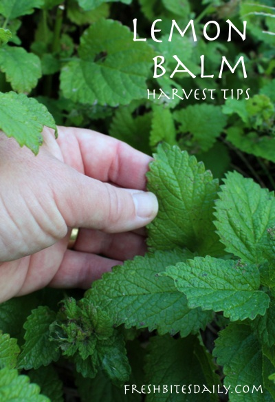 Harvesting lemon balm