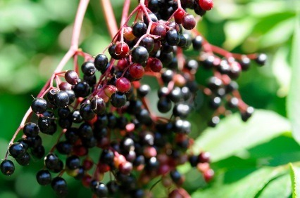 Elderberries -- Harvesting, buying, using, nutrients, and just about everything else, right here