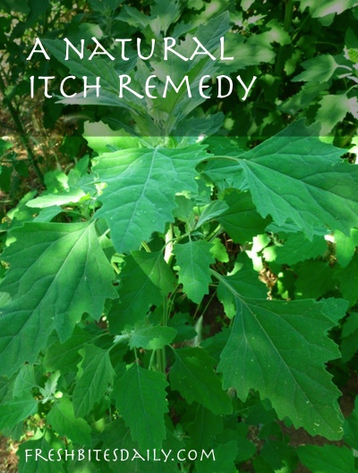 A natural itch remedy, perhaps right in your backyard